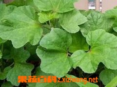 果蔬百科冬寒菜