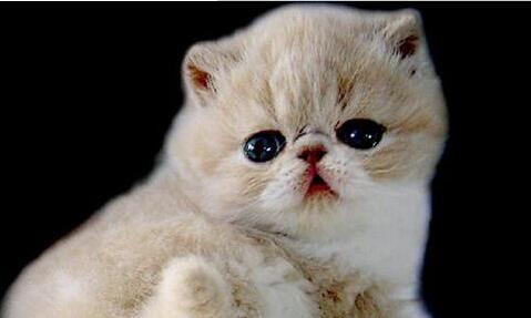 波斯猫要怎么养?养波斯猫应注意哪些事项?